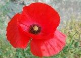Fiori rossi, fiori di campo: il papavero, rimedio naturale ed ingrediente per gustosericette!
